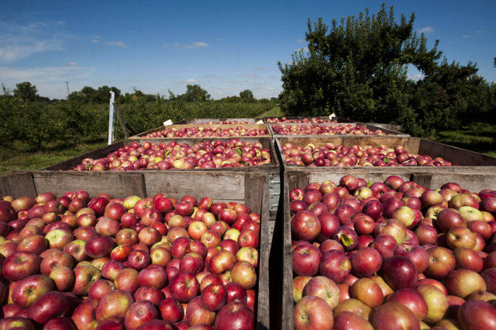 Apple Harvest At McQueen Orchards